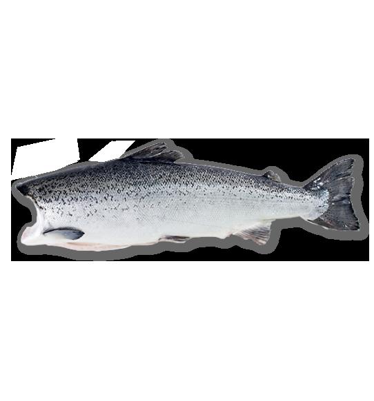Whole Salmon/HG – Camanchaca